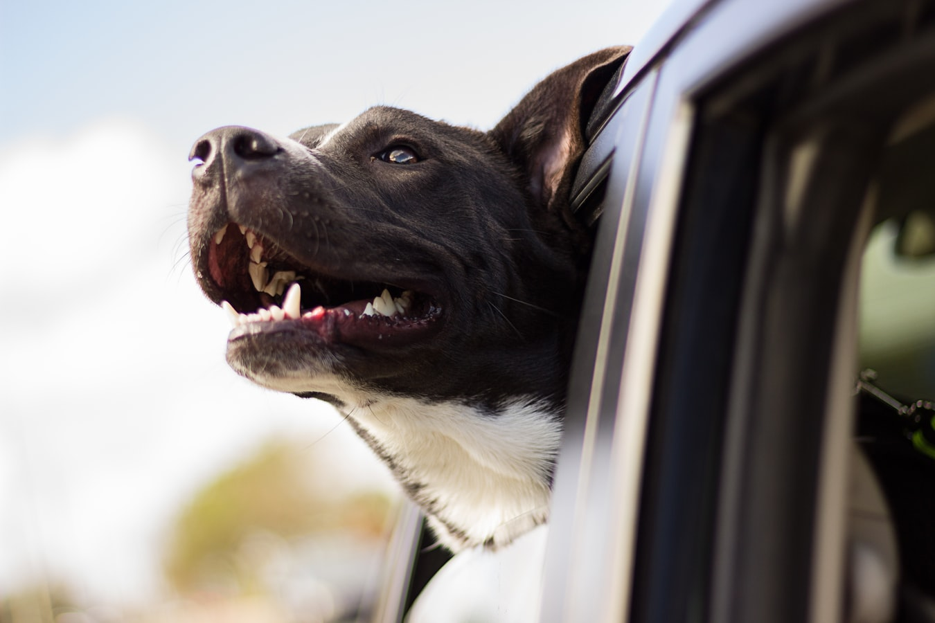 A large brown dog sticks their head out of the window of a car
